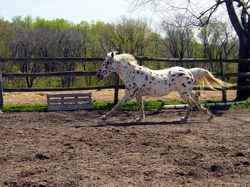 Appaloosa mare running