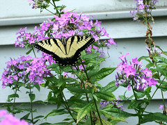 swallowtail01-0706