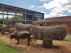 Paraguay Fairtrade Cooperative - Depositing the sugar cane - Kathryn BONHAM