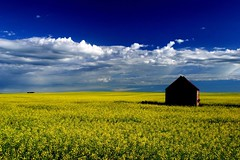 Shadow, canola, and sky