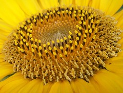 Sunflower Center Macro