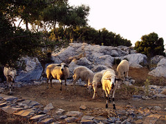 Ikaria 266 (isl_gr (away on an odyssey)) Tags: sheep hiking ikaria icaria  trails limestone bunuel theisland   atheras