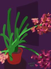 010113 Pink Hyacinth