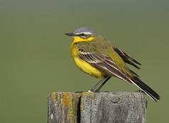 Western Yellow Wagtail   gulärla   Motacilla flava