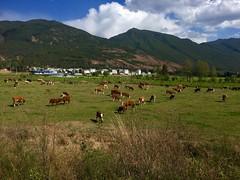 Kühe auf der Ebene vor Lijiang