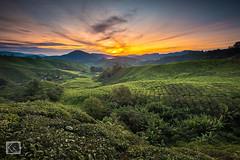 Sunrise at Sg Palas Tea Plantation