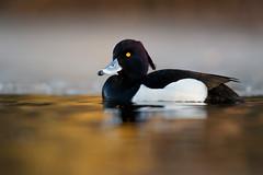 Tufted Duck   vigg   Aythya fuligula