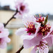 Spring sign - our almond tree blossoms