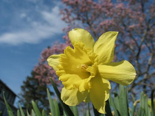 daffodil and tree