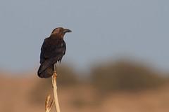 Brown-necked Raven | ökenkorp | Corvus ruficollis