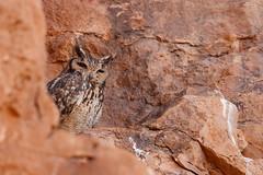 Pharaoh Eagle-Owl | ökenuv | Bubo ascalaphus