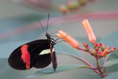 Doris Passiebloem vlinder