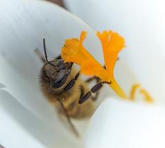 Honingbij op Crocusje