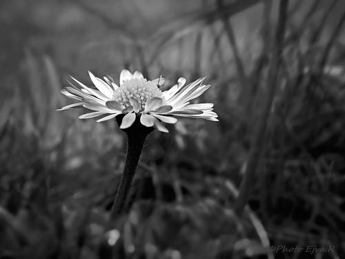 Bellis Daisy /Százszorszép