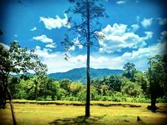 Kampung Orang Asli Serendah, 48200 Serendah, Selangor https://goo.gl/maps/t6jcqTSkRAF2 #tree #nature #travel #holiday #trip #Asian #Malaysia #Selangor #serendah #travelMalaysia #holidayMalaysia #大自然 #树木 #旅行 #度假 #亚洲 #马来西亚 #雪兰莪 #双文丹 #马来西亚旅行 #马来西亚度假 #kampung