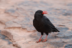 Red-billed Chough | alpkråka | Pyrrhocorax pyrrhocorax