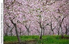Peach Blossoms, Claus Rd, Vineland