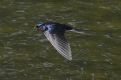 Barn swallow :They are too fast, difficult to have a good sharpness