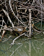 Pond Turtle JHK00906