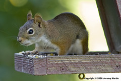 Red Squirrel - by Jeremy Martin