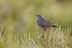 Bluethroat   blåhake   Luscinia svecica