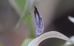 Faulbaumbläuling (Celastrina argiolus)