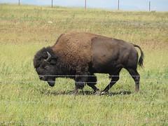 Zum Glück ist dieser enorme Bison hinter dem Zaun!