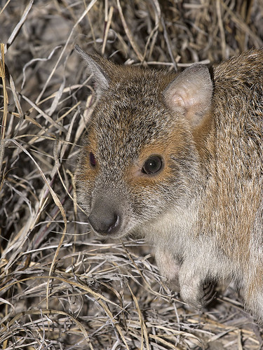 """Spectacled Hare-wallaby - Lagorchestes conspicillatus - Epping Forest NP, QLD • <a style=""""font-size:0.8em;"""" href=""""http://www.flickr.com/photos/95790921@N07/43019579424/"""" target=""""_blank"""">View on Flickr</a>"""