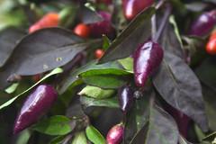 Chili Fruits