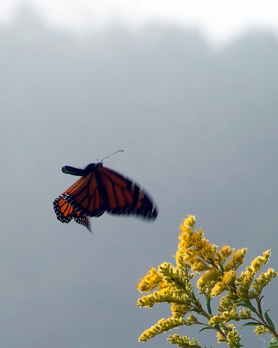 Migrating monarch in First Field