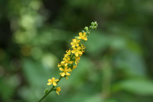 Woodland Agrimony Closeup