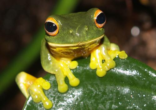 orange eyed green tree frog