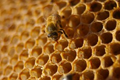 a bee on a honey comb