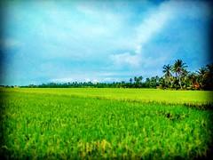 Jalan Parit 7, 45400 Sekinchan, Selangor https://goo.gl/maps/6GyNm5gBQMF2  #travel #holiday #traveling #trip #Asian #Malaysia #旅行 #度假 #亚洲 #马来西亚 #วันหยุด #การเดินทาง #ホリデー #휴일 #여행 #Sekinchan #Selangor #outdoor #nature #travelMalaysia #tree #树 #田地 #kampung