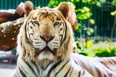 Tygr indický bílý - White Tiger (Panthera tigris tigris)