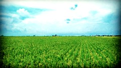 Jalan Parit 7, 45400 Sekinchan, Selangor https://goo.gl/maps/6GyNm5gBQMF2  #travel #holiday #traveling #trip #Asian #Malaysia #旅行 #度假 #亚洲 #马来西亚 #雪兰莪 #วันหยุด #การเดินทาง #ホリデー #휴일 #여행 #Sekinchan #Selangor #outdoor #nature #travelMalaysia #马来西亚旅行 #田地 #kamp