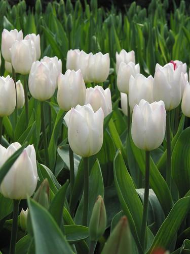 Tulipan Christmas Sweet