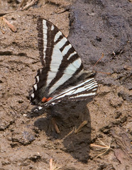 """IMG_5401: Zebra Swallowtail Butterfly • <a style=""""font-size:0.8em;"""" href=""""http://www.flickr.com/photos/54494252@N00/15876889/"""" target=""""_blank"""">View on Flickr</a>"""