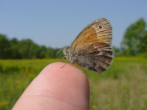 Common Ringlet on Finger