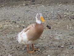 Thai Duck