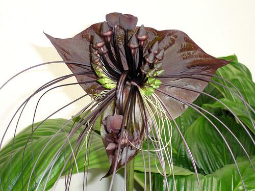 Fledermausblume / Batflower