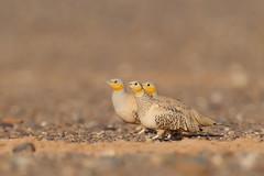 Spotted Sandgrouse | ökenflyghöna | Pterocles senegallus