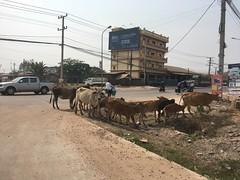 Kühe auf der Strasse kurz vor Vientiane