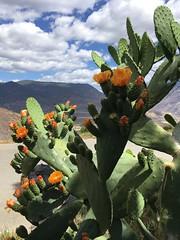 blühender Kaktus auf dem Downhill nach Daju