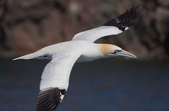 Gannet Faroes