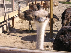 Ostrich on the Ostrich Farm
