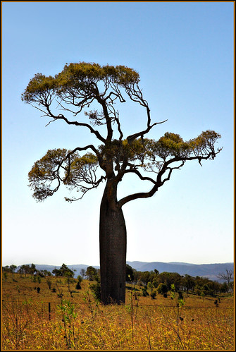 Queensland Bottle Tree by Mike Locke