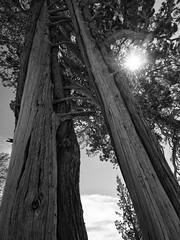 Sierra Trees 4