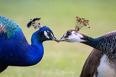 Peacock kisses | Páv korunkatý (Pavo cristatus)