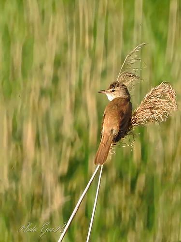 Warbler/ A cserregő nádiposzáta (Acrocephalus scirpaceus)